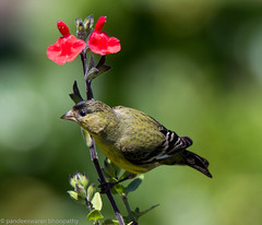 lesser goldfinch (pandeesh89) Tags: sanfrancisco california unitedstates us lesser goldfinch fort mason sf nature birds feathers canon 5dmark3