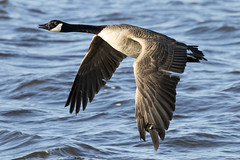 Grote Canadese Gans c (maarten-sr) Tags: grote canadese gans vogelplas starrevaart
