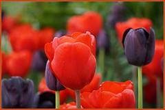Wir bringen Farbe ins Spiel ... (Kindergartenkinder) Tags: blume tulpe frühling grugapark essen kindergartenkinder