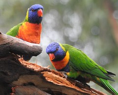 """Rainbow Lorikeets - """"Fred, why is he pointing that thing at us?"""" (Free_aza_Bird) Tags: the briars mornington peninsula mountmartha trichoglossus moluccanus trichoglossusmoluccanus rainbow lorikeet"""