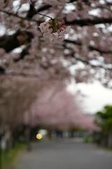Cherry blossoms in neighborhood 2017/04 No.10. (HIDE@Verdad) Tags: pentaxistds carlzeissjenaddrtessar50mmf28 carlzeissjena tessar50mmf28 pentax istds