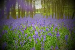 #dockeywood #fujifeed #berkhamsted #ashridge #bluebells (marcuscheshire) Tags: dockeywood fujifeed berkhamsted ashridge bluebells