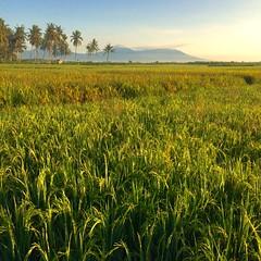 (Arif_chenghoe) Tags: morning rice mount banyuwangi