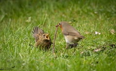 Robin with fledgling (Phil Everett Photography) Tags: robin fledgling baby spring feeding birds wildlife nature goodmum canon 5d3 100400mkii