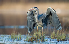 Grey heron (Ardea cinerea) (Ville.V.) Tags: grey heron ardea cinerea birds birding europe finland nature wild wildlife