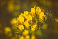 dreamy gorse (HHH Honey) Tags: yellow sonya7rii salisburyplain wiltshire spring gorse golden flowers wildflowers blackheath theblackheath googlenikcollection analog minolta50mmf28macro 50mm macro bokeh