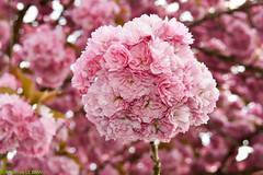 Cerisier du Japon (Prunus serrulata) (TICHAT10) Tags: fleursetplantes cerisierdujapon prunus rose explore alittlebeauty damn closeup coth sunshine coth5