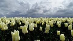 EMMELOORD, THE NETHERLANDS (pwitterholt) Tags: emmeloord flevoland tulip tulips tulpen tulpenvelden tulipfields white wit lente spring sony sonycybershot sonyhx400 polder