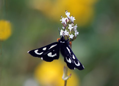 Mariposa Forester (Alypia mariposa) (Ron Wolf) Tags: alypiamariposa lepidoptera mariposaforester nationalpark noctuidae pinnaclesnationalpark insect moth nature wildlife montereycounty california