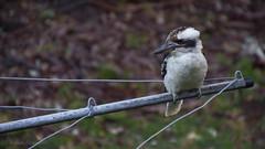Hills Hoist Kookaburra (Steve_Graham) Tags: bird kookaburra beginner nature wildlife brisbane australia