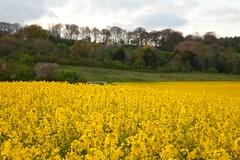 Rape Seed Oil (Kent) (Adam Swaine) Tags: rapeseed oilseedrape yellow landscapes englishlandscapes fields kent kentishlandscapes kentweald dusk farming ruralkent rural flora britain british ukcounties countryside counties swaine 2107
