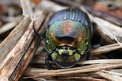 rainbow scarab (myriorama) Tags: beetle dungbeetle rainbowscarab polyphaga scarabaeoidea scarabaeidae scarabaeinae phanaeini phanaeus phanaeusvindex