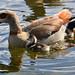 Mutter und Kind (orti62) Tags: nikond500 tiere vögel wasservogel wasservögel animals natur