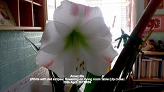 Amaryllis (White with red stripes) flowering on living room table (Up close) 25th April 2017 006 (D@viD_2.011) Tags: amaryllis white with red stripes flowering living room table up close 25th april 2017