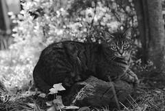 Camille (rootcrop54) Tags: camille tabby tabbies cat female posingonrock macska kedi 猫 kočka kissa γάτα köttur kucing gatto 고양이 kaķis katė katt katzen kot кошка mačka maček kitteh chat ネコ