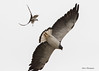 White-tailed Hawk being attacked by Fork-tailed Flycatcher