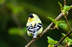 Gold Finch Male (jerrygabby1) Tags: