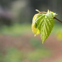 - juhu es grünt - (HORB-52) Tags: berndsontheimer badenwürttemberg blatt grün baum blätter
