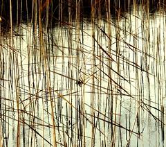 (HWSH) Tags: abstract reflections reed