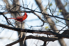 Bright red cardinal (JimLaderoute) Tags: cardinal birds red