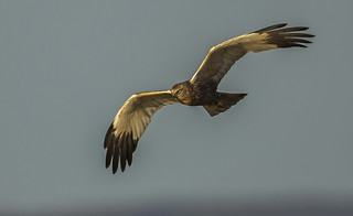 Marsh harrier - Finally a close fly-by
