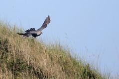 coucou gris ( Cuculus canorus ) Erdeven 170422h2 (papé alain) Tags: passereaux oiseaux cuculidés coucougris cuculuscanorus commoncuckoo erdeven morbihan bretagne france