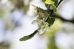 apple blossoms (eva vee) Tags: appletree appleblossoms flowers white petals tender closeup springtime nikon apfelbaum blüten natur garten bokeh dof green