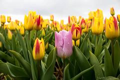 IMG_1891 (Eupeodes) Tags: bloemen bollenveld texel tulpen