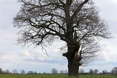 Mein Freund der Baum ! (♥ ♥ ♥ flickrsprotte♥ ♥ ♥) Tags: baum natur wald wiese rapsfeld april 2017 schleswigholstein