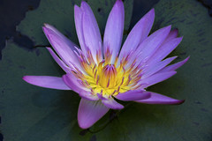 Water Lily Study (archie0) Tags: flower waterlily macro