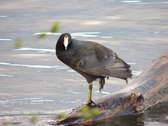 American Coot (Two Cats Productions) Tags: