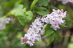 Lilac (witajny) Tags: 2017 flowers garden nature lilac brooklynbotanicgarden brooklyn newyork seasons