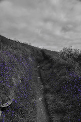 Feeling Blue (richardsolway) Tags: perranuthnoe cornwall path bluebells blue bells flowers selective colour cudden coast