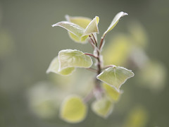 Inspiration and Earth Day (Jan.Timmons) Tags: goodthings inspiration macromondays intentionalblur quakingaspen treeleaves newleaves tiny movement jantimmons pacificnorthwest earthday