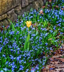 dividuality (jessicalowell20) Tags: blue brink fieldstone garden green leaves maine newenglfand northamerica scylla spring tulipyellowsunkengardendelicate