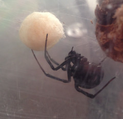 Brood (Tony P Iwane) Tags: spider spiders web arachnid egg silk eggs eggsac blackwidow arachnids iphone latrodectus iphone5