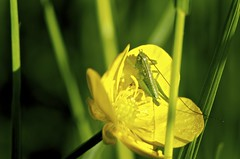 Little green hopper (T!|\/|0) Tags: green yellow deutschland hessen natur gelb grasshopper makro lampertheim grun biedensand grashupfer