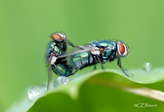 1..2..fly (Ellenore56) Tags: light inspiration color colour detail macro reflection nature animal fauna bug insect licht fly photo focus foto metallic magic sunday border natur perspective explore vista droplet environment imagination outlook moment creature makro magical farbe insekt reflexion brilliant ambience sonntag tier perspektive fascinating bluebottle fliege reflektion tropfen umwelt fliegen augenblick blowfly pairing fokus copulation paarung lucilia trpfchen faszination leafedge greenbottlefly phaeniciasericata lebewesen tierwelt explored metallisch goldfliege faszinierend luciliasericata sonya350 schmeisfliege schmeisfliegen commongreenbottlefly animatebeing ellenore56 blattrand 19052013