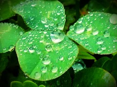 Sunday raindrops on a clover. (rzm61) Tags: green grass rain sunday android raindrop nexus4 androidography streamzoo