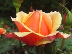 (tarabunnyears) Tags: flower nature rose gardens raindrops peachrose reynaldo reynoldagardens wetflower wetrose peachflower flowersofnorthcarolina
