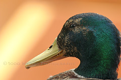 This is Harold (1000WordsGallery) Tags: california green slr bird nature animal yellow digital canon photography eos rebel photo duck digitalcamera mallard southerncalifornia orangecounty drake waterfowl oc fullerton digitalslr t3i shorebird anatidae 1000words platyrhynchos anseriformes canon600d 1000wordsphotography canont3i 1000wordsgallery ralphevelasco