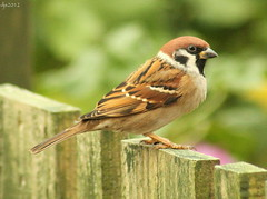 Tree Sparrow (Wipeout Dave) Tags: bird wildlife sparrow djs treesparrow rspb gardenbird redstatus wipeoutdave canoneos1100d djs2012