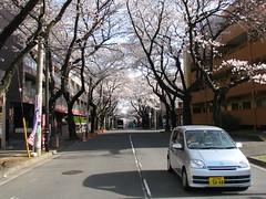 Tamaplaza  - Utsukushigaoka Park  () Tags: park japan blossom   yokohama parc japon  cherrytree cerisier totale fullbloom  tamaplaza   fleuraison  utsukushigaoka