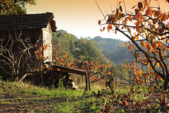 rastros do outono (gedudo) Tags: fall vineyard colonial paisagem cenrio outono serragacha vinhedo pintobandeira entardeder