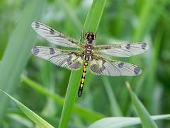 Calico Pennant - Female (Salamanderdance) Tags: show girl female spring dragonfly pennsylvania calico pennant odonata warrencounty odonate teneral