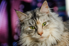 Ziva (Nicholas Erwin) Tags: lighting portrait pet house field animal female cat nikon feline purple natural bokeh maine kitty coon inside nikkor depth domesticated ziva 70300vr d7000