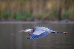 Blue Flyby (gseloff) Tags: birds texas pasadena greatblueheron kayakphotography gseloff horsepenbayou galvestonbayestuary