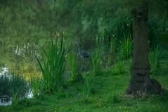 ich bin ein berliner! (Enhanced Reality) Tags: park berlin bird heron nature germany pond tier charlottenburg lietzensee