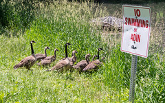 Silly Rules (Ryan G. Kimber) Tags: green bird nature grass birds animal animals geese pond olympus iowa goose trail ia canadagoose canadageese avian noswimming nevadaia olympusomdem5 omdem5