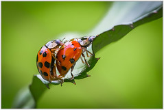 Everybody Loves Somebody (Gerald H.) Tags: insects ladybug mating marienkäfer copulation paarung
